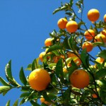 oranges-cropped
