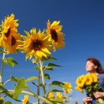 sunflowers-cropped